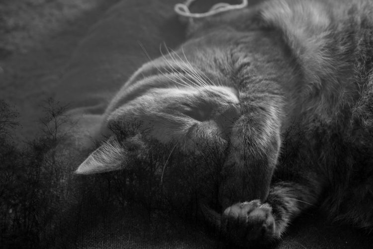 Mammal Domestic Cat Animal Pets One Animal Domestic Animals Animal Themes Domestic Cat Feline Vertebrate Relaxation No People Lying Down Close-up Whisker Resting Animal Body Part Sleeping Eyes Closed  Animal Head