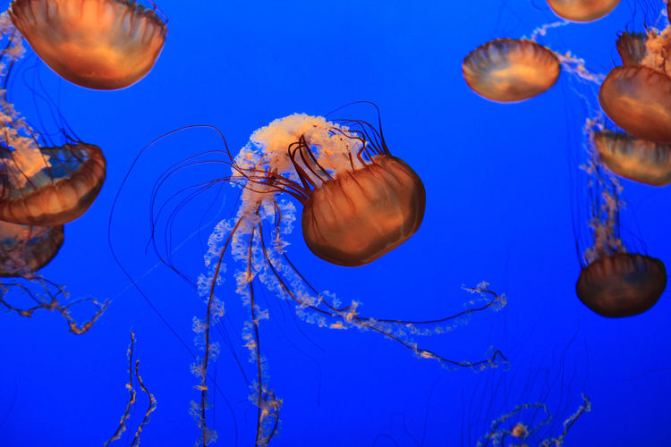 Aquarium Beauty In Nature Floating In Water Jellyfish Monterey Bay No People Sea Life Underwater Water