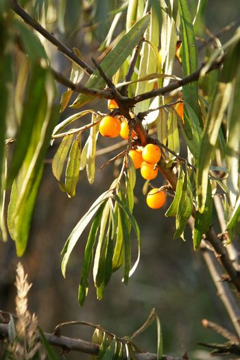 Autumn berries Leaves🌿 Agriculture Beauty In Nature Branch Buckthorn Buckthorntree Close-up Day Focus On Foreground Food Freshness Fruit Green Color Growing Growth Healthy Eating Leaf Nature No People Outdoors Tree