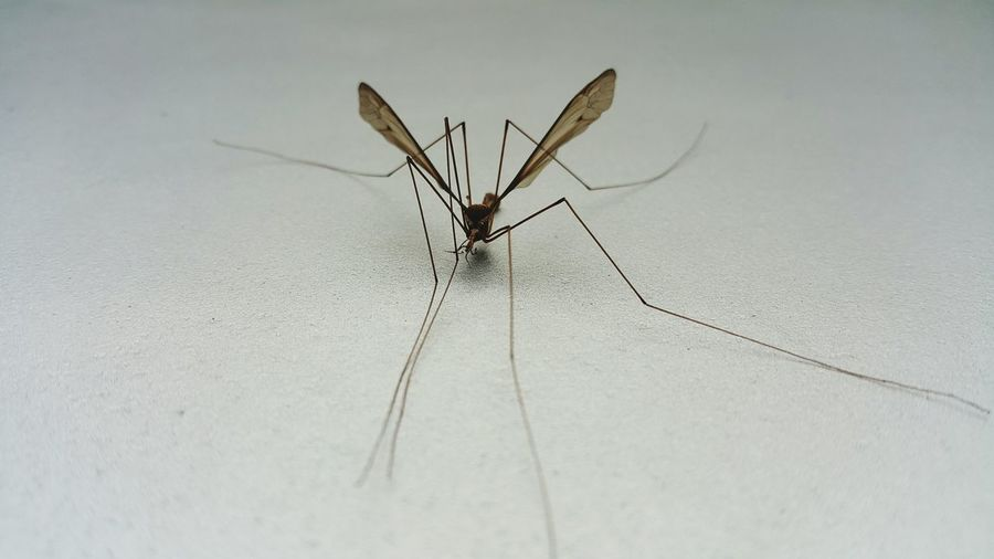 mosquito Insecto Zancudo Insect Animal Leg Animal Themes Close-up Mosquito