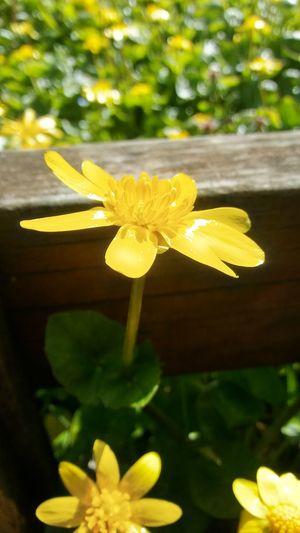 Flower Head Flower Yellow Leaf Defocused Petal Daffodil Close-up Plant