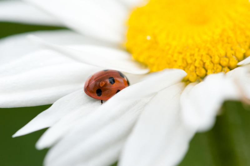 Close-Up Of Ladybug On White Flower