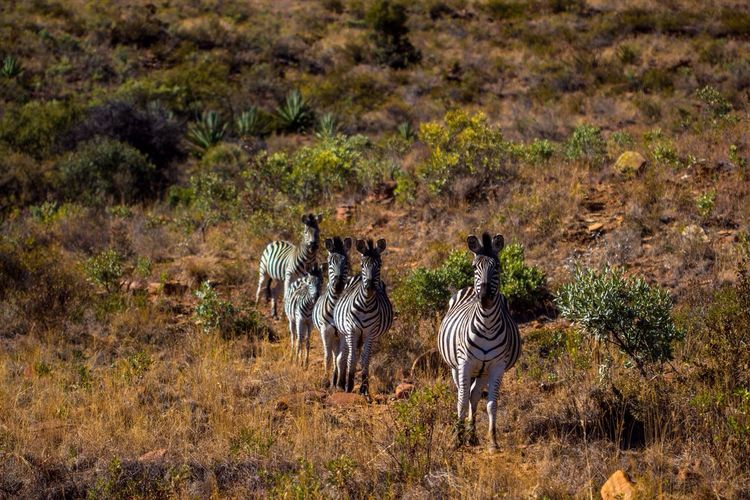 Line up Game Drive Zebra LINE Mpumalanga South Africa Wildlife Taking Photos Stripes Blackandwhite
