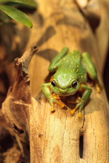 Magnificent tree frog Litoria splendida can be found in Australia and can be found in caves. Amphibian Animal Themes Animals In The Wild Close-up Day Frog Green Frog Herp Herpetology Litoria Splendida Magnificent Tree Frog Nature No People One Animal Outdoors Reptile Tree Frog Wildlife