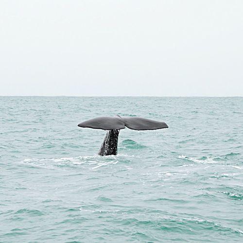 Whale Whale Watching Sperm Whale  Tail Sea New Zealand Water Kiakoura Whale Tail Whalewatching