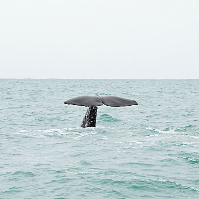 Whale Whale Watching Sperm Whale  Tail Sea New Zealand Water Kiakoura Whale Tail Whalewatching