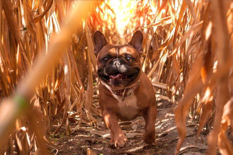 Sunshine Französische Bulldogge  Hundefotografie Tierfotografie Hunde Dogs Of EyeEm EyeEm Selects Hundeportrait EyEmselect Düsseldorf Butsosexy Dogs Dogs Life Twerk #hundefoto Pets Portrait Dog Looking At Camera German Shepherd Close-up