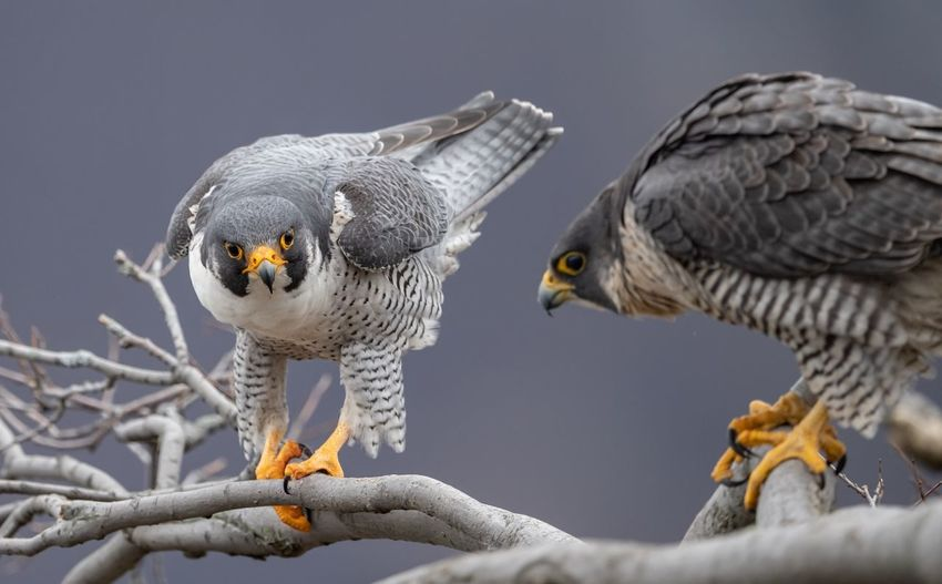 Peregrine falcon pair Falcon Peregrine EyeEm Selects Animal Themes Animal Bird Vertebrate Animal Wildlife Animals In The Wild Two Animals Focus On Foreground Day No People Branch Perching Bird Of Prey Outdoors Close-up Group Of Animals Nature Tree Plant Beauty In Nature
