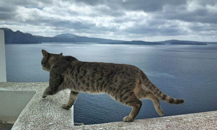 || Street Journals || Santorini , Greece. TheFoneFanatic Nokia  Nokia808 Vacations Mobilephotography PhonePhotography Streetphotography Cat Pets Sea Mountain Walking Animal Themes Seascape