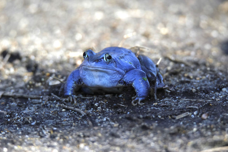 Moorfrosch,Germany Frösche Animal Wildlife Animals In The Wild Blau Close-up Day Frosch Land Nature No People One Animal Outdoors Selective Focus Vertebrate