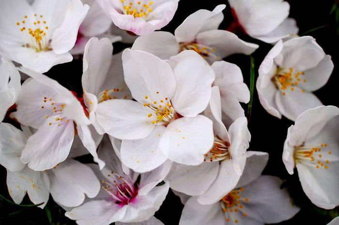 桜 ピンク 白 花 Cherry Blossoms Pink White Flower