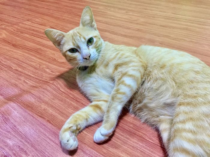 Playful catty Thai Street Cat Cat Feline Domestic Cat Pets Animal Themes Mammal Domestic Animals High Angle View Indoors  Domestic One Animal Vertebrate Relaxation Animal Looking At Camera No People Lying Down Portrait Flooring Wood