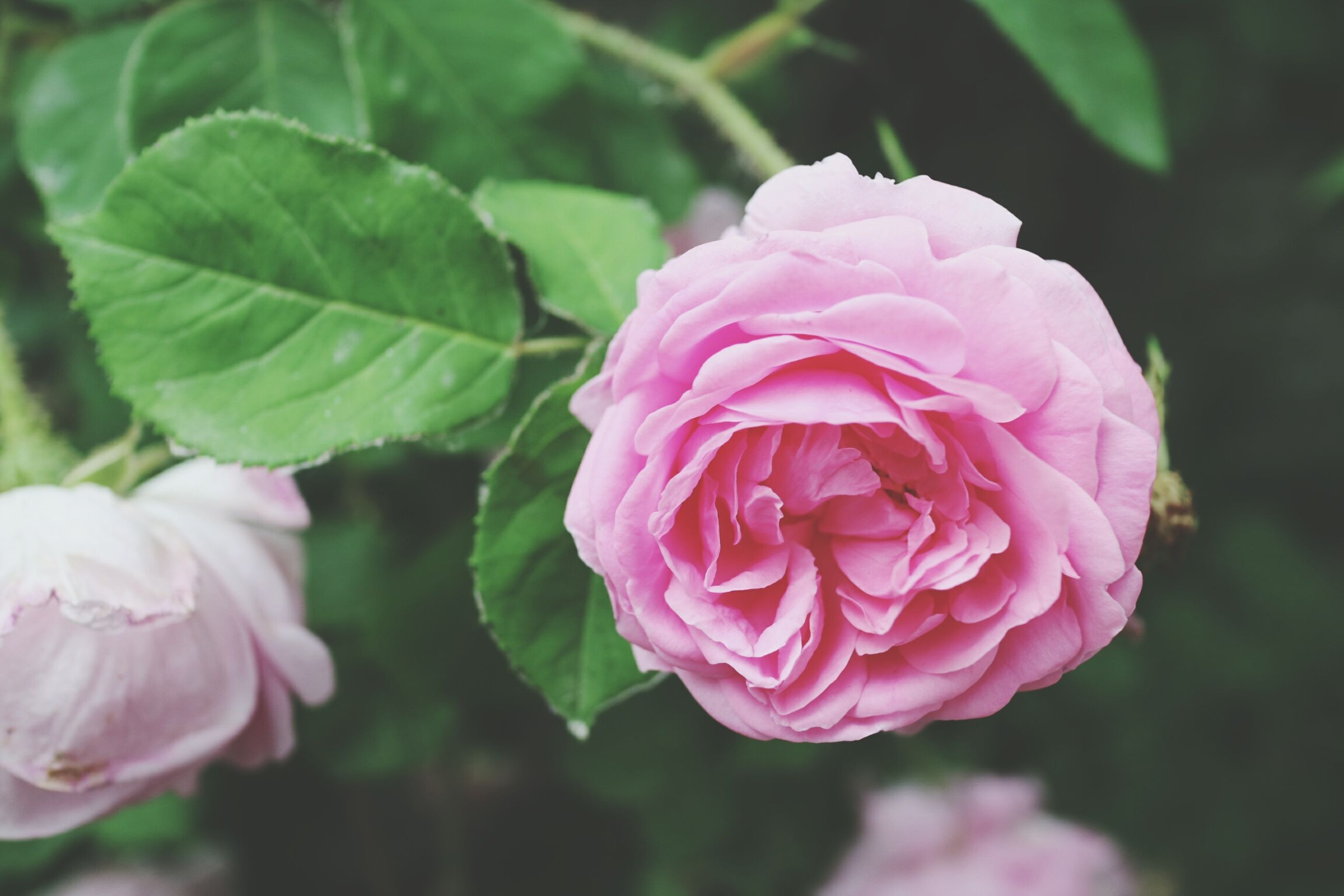 flower, freshness, petal, fragility, pink color, flower head, rose - flower, beauty in nature, growth, close-up, focus on foreground, nature, blooming, plant, in bloom, leaf, pink, blossom, single flower, rose
