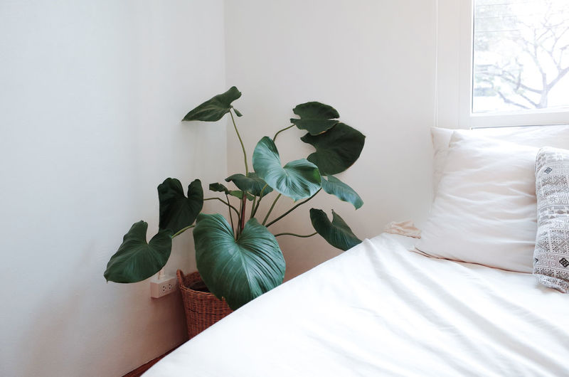 Furniture Indoors  Plant Window Bed Bedroom Home Interior Leaf Plant Part Nature Pillow No People Domestic Room Linen Day White Color Comfortable Sheet Potted Plant Green Color Cozy Houseplant