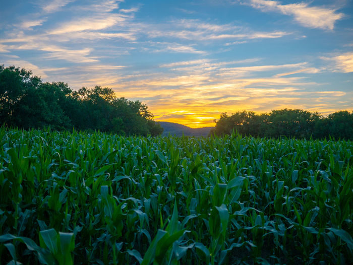 Sunset over a corn field New York Agriculture Beauty In Nature Cereal Plant Cloud - Sky Corn Corn Field Crop  Environment Field Green Color Growth Land Landscape Nature No People Outdoors Plant Rural Scene Scenics - Nature Sky Sunset Sunsets Tranquil Scene Tranquility