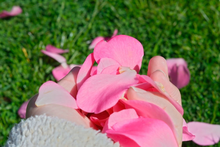 Close-up of pink rose flower on field
