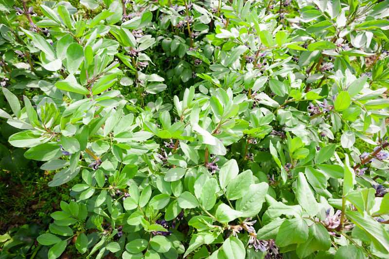 Broad bean Growth Plant Part Leaf Plant Green Color Beauty In Nature Nature Food And Drink Day Full Frame Freshness No People Food Close-up Backgrounds Outdoors Healthy Eating Tree Fruit Foliage Vicia Faba L. Broad Beans Plant