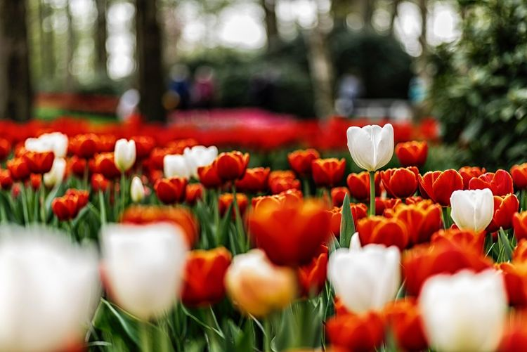 Keukenhof Tulips Flower Flowering Plant Plant Fragility Vulnerability  Beauty In Nature Red Flower Head Tulip Petal Selective Focus Nature Field Day No People
