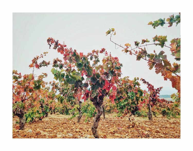 Sous les jupes des vignes Tree Growth Nature Plant Agriculture No People Outdoors Beauty In Nature Blossom Day Branch Flower Freshness Leaf Autumn Rural Scene Clear Sky Scenics Fragility Sky Wineyard Automn Colors