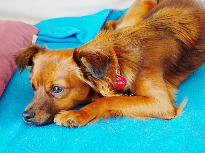 Dog Pets Mammal Domestic Animals Dachshund Animal Themes Lying Down No People Blue One Animal Relaxation Indoors  Close-up Day Enjoy Family Freedom