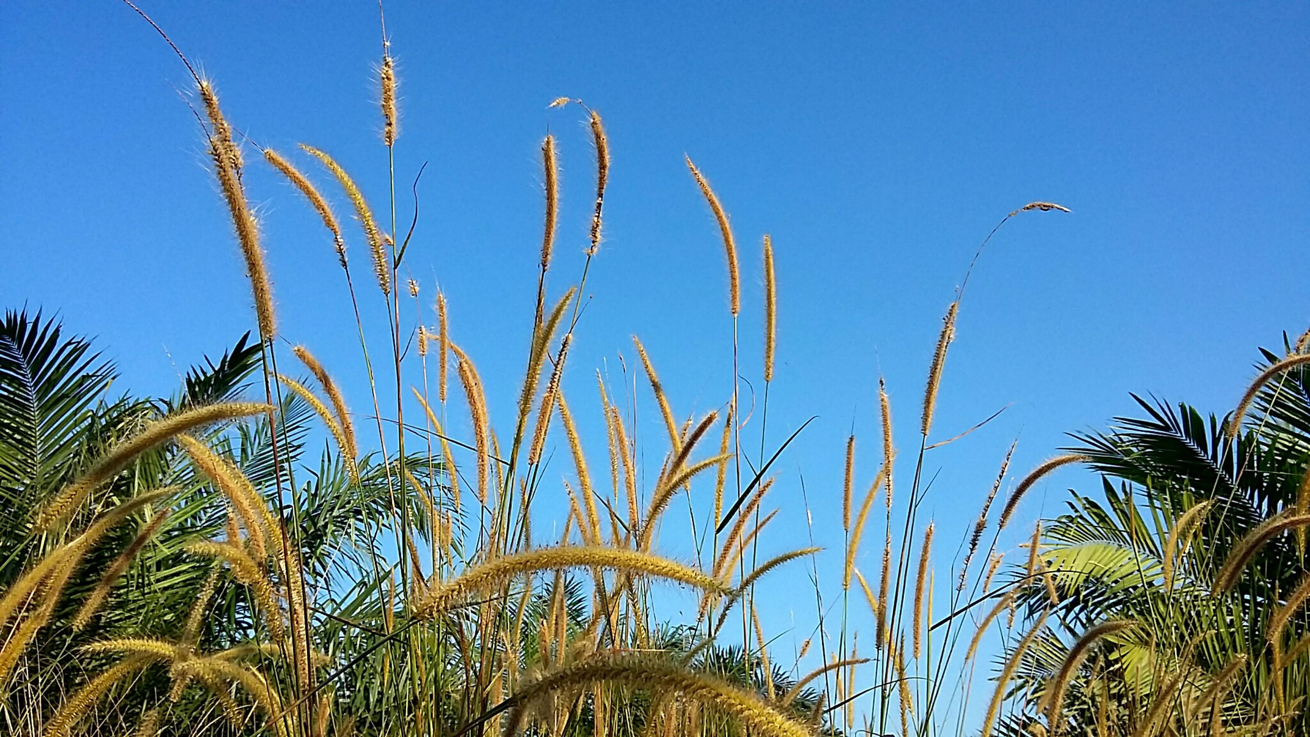 clear sky, growth, blue, low angle view, nature, tranquility, palm tree, plant, beauty in nature, copy space, grass, tranquil scene, tree, crop, day, outdoors, growing, scenics, no people, sky