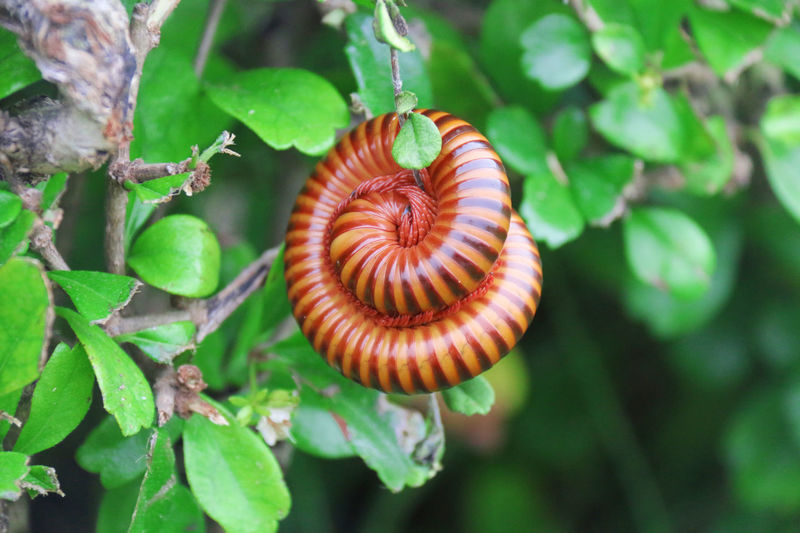 Millipede Animal Circle Ecology Striped, Top Extremely Biology Creature Ecological Bio Entomology Brown Red Green Garden Grass