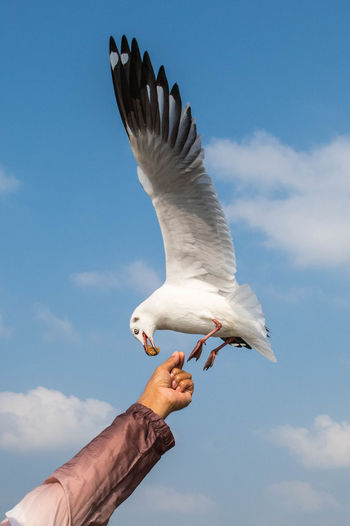 Seagull flying to catch food on the hand of a tourist nearby
