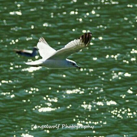 Flying Birds Wildlife Seagull Seagulls In The Park Gull Eye4photography  Birds In Flight EyeEm Birds