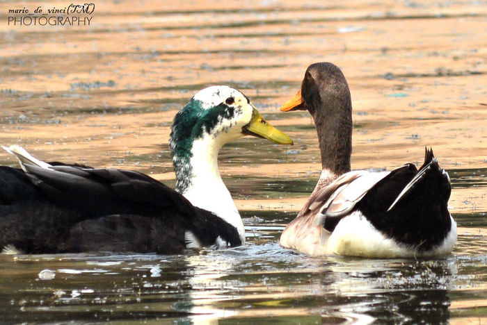 Be like a duck,paddling and working very hard inside the water,but what everyone see's is a smiling and calm face....!!! Ducks Bird Photography Nature Photography Birdlove