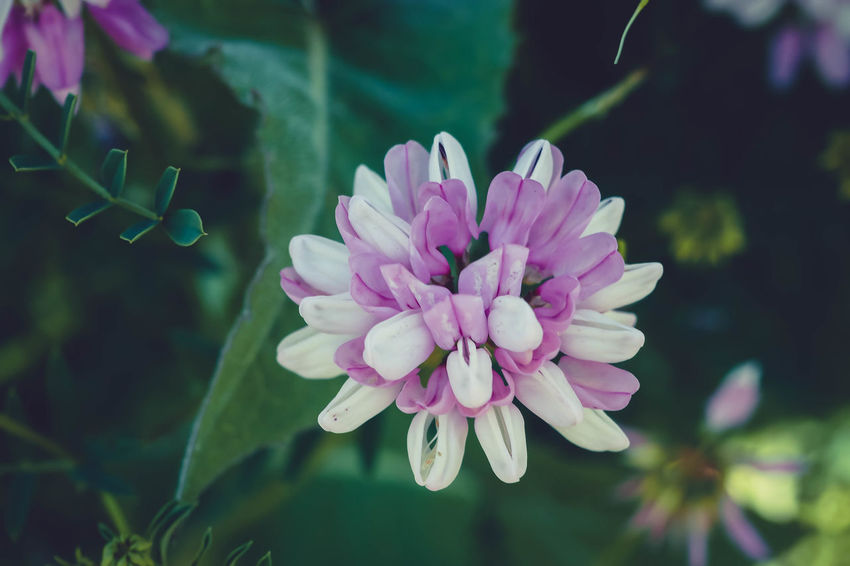 Pink Flower 🌸 Pink Flowers Pink Color Pink Flower Clover Leaves Cloverleaves Clover Leaf CloverFlower🍀 Clover Blossom Cloverflower Clover Field Clovers  Cloverleafdiary Clover Flower Cloverleaf Clover Flower Plant Leaf Nature Outdoors Day Petal Freshness Beauty In Nature