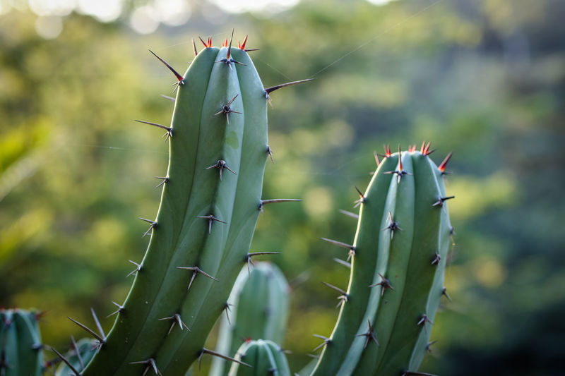 Cacti Growth Plant Green Color Focus On Foreground Beauty In Nature Close-up Day No People Sharp Succulent Plant Cactus Spiked Outdoors Thorn Spiky
