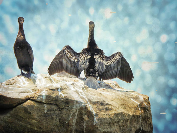 Animal Animal Themes Animal Wildlife Animals In The Wild Bird Cormorant  Day Group Of Animals Nature No People Outdoors Perching Rock Rock - Object Solid Spread Wings Vertebrate
