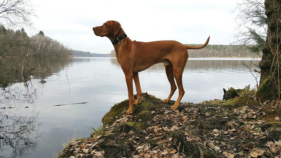 Lake Nature Outdoors No People Animal Themes Dog Vizslaoftheday Hungarian Vizsla Dog Of The Day Ijuma Von Terra Lebusana