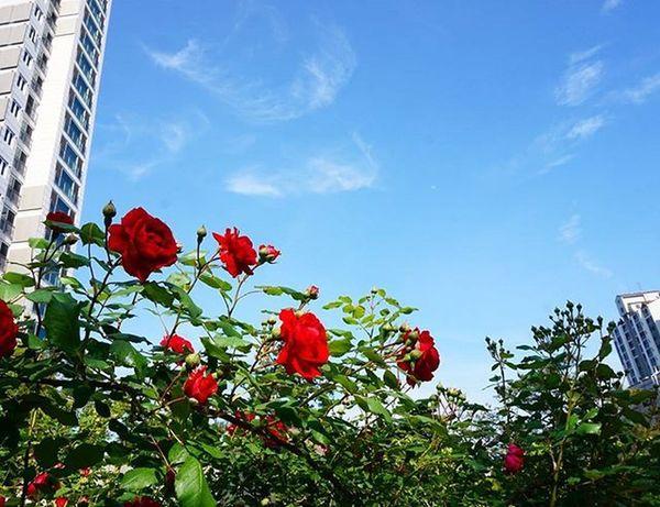 16.05.14 부처님오신날 초파일 일상 일상스타그램 한강 노들 노들역 한강대교 하늘 장미 Goodday Instagood Life Lifestyle Beautiful Memories Korea Seoul Nature Sky Flower Flowers Instagram Blue Amazing awesome photography photo picoftheday pic
