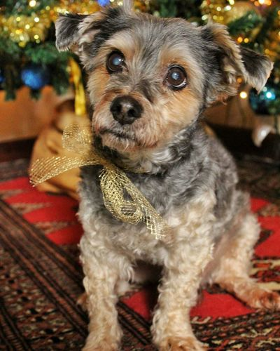 Dog Pets Animal One Animal Domestic Animals Puppy Cute Looking At Camera Animal Themes Portrait Sicily Inspired Backgrounds Pet Portraits Indoors  Tree Multi Colored Winter Christmas Decoration Christmas Scenics