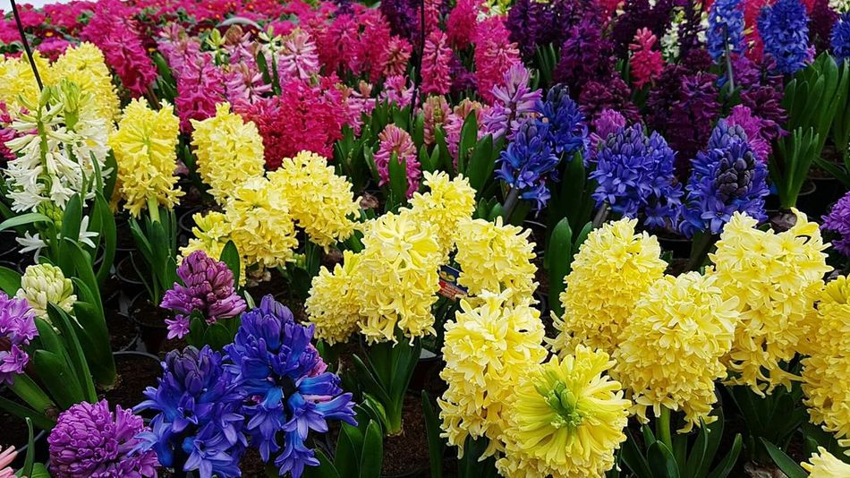 Flower Fragility Beauty In Nature Nature Purple Yellow Freshness Growth Flower Head Backgrounds Blooming Full Frame Plant No People Close-up Outdoors Day Hyacinth Hyacinths Hyacinth Flower Hyacinthus Hyacint HyacinthFlowers Hyacinth,spring