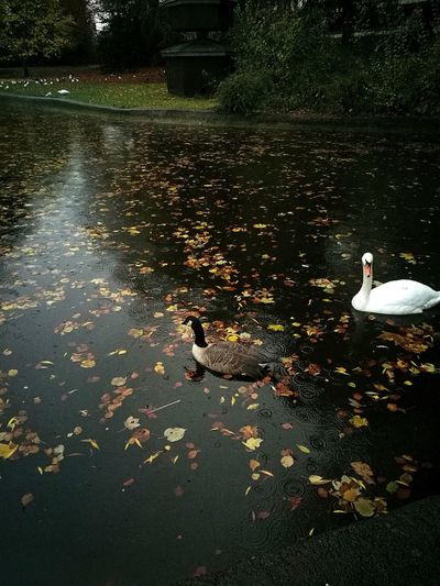 Excepted Swan Bad Eyes Attacks .so.... Reflection Water Animal Themes Nature High Angle View Swimming Outdoors Beauty In Nature Day RainDrop Weather Empty Park Wet Scenics Lake Rain Close-up No Filter, No Edit, Just Photography Storm Approaching