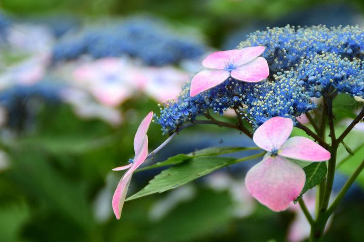 紫陽花-hydrangea-