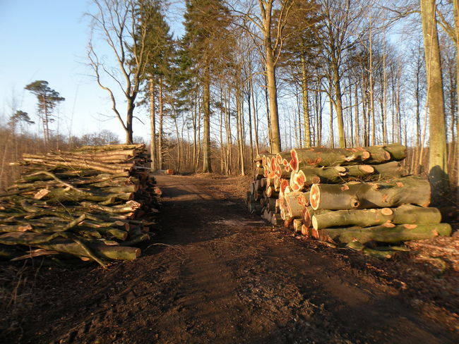 Tree Nature Growth Outdoors Sky Landscape Day No People Beauty In Nature Pile Of Wood Pile Log Log Pile Tree Trunk Blue Sky Sunlight Sunshine Sunny Sunny Day Forest Forest Trees - in The Danish Countryside
