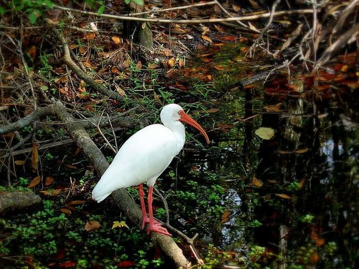 Bird One Animal Animals In The Wild White Color Animal Wildlife Great Egret Animal Themes Day Outdoors Egret Nature No People Ibis Water Perching Close-up