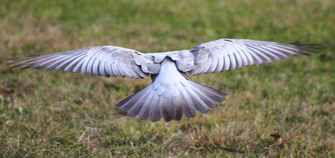 Rear View Of Bird In Mid Air With Spread Wings Over Field