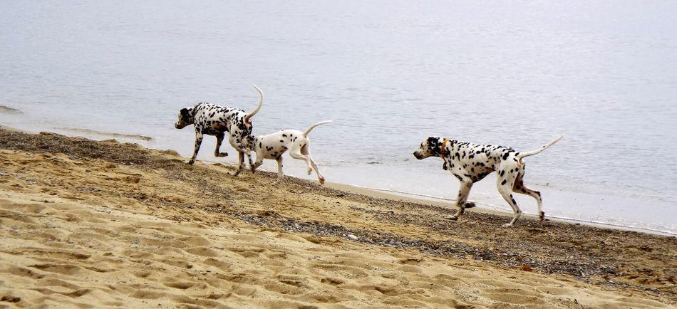 Adventure Arid Climate Dalmata Al Agua Dogs Zoology