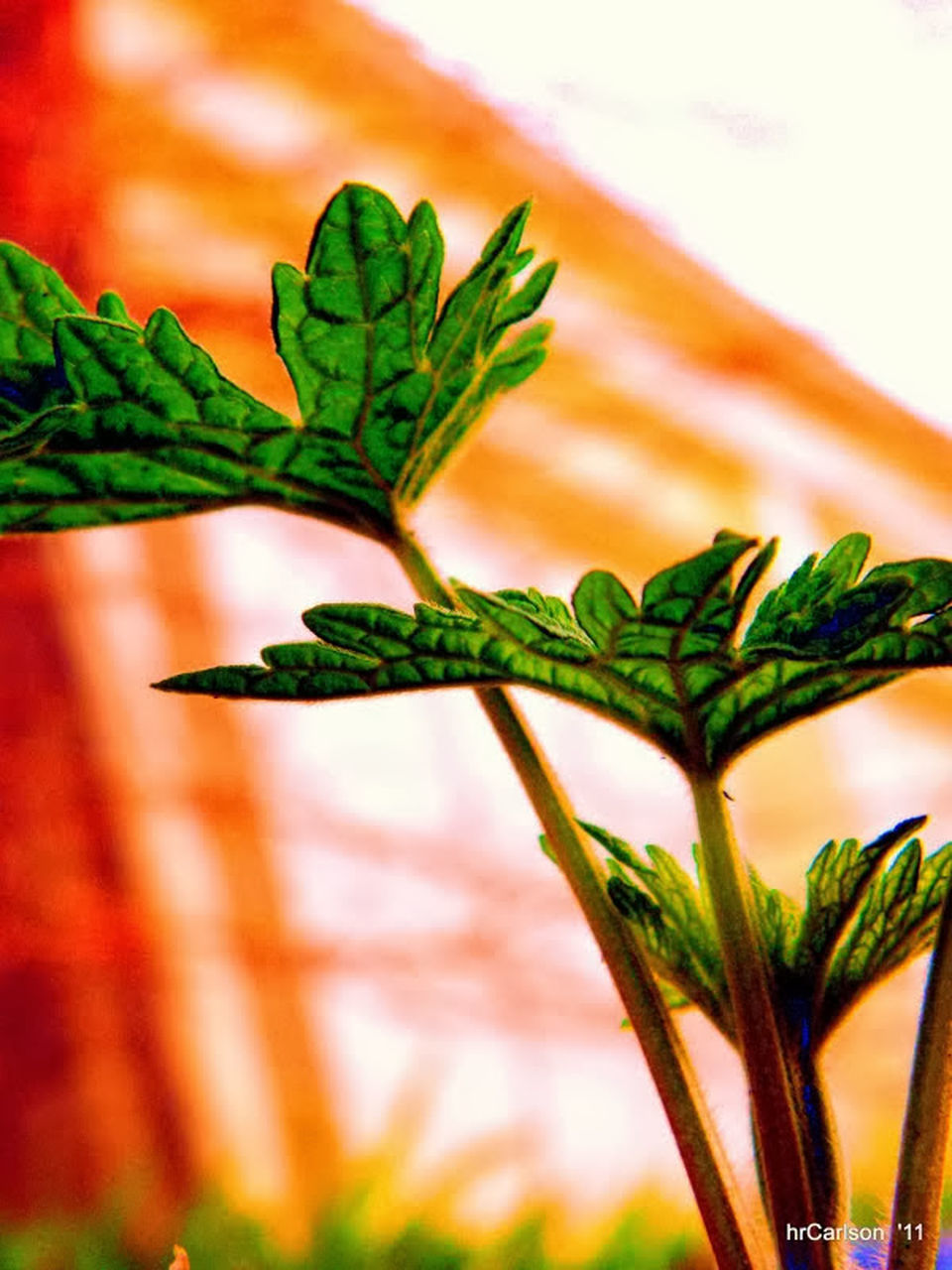 green color, plant, leaf, nature, no people, herb, growth, freshness, herbal medicine, close-up, beauty in nature, outdoors, day