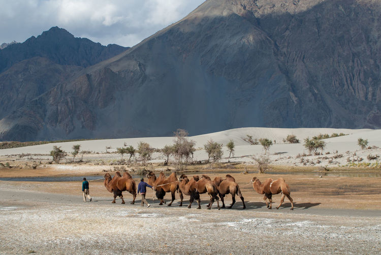 Herd of bactrian camels in Nubra Valley Bactrian Camel Desert Himalayas India Kashmir Ladakh Nubra Silk Road Animal Themes Camel Caravan Domestic Animals Herd Jammu And Kashmir Landscape Large Group Of Animals Mountain Nature No People Nubra Valley Outdoors Scenics