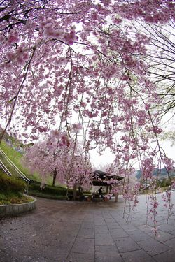 Sakura Sakura2015 Flowers Pink Flower Japan Photography Everyday PENTAX Pentax Pentax K-5 Spring Flowers Spring Report DA FISHEYE 10-17mm f3.5-4.5