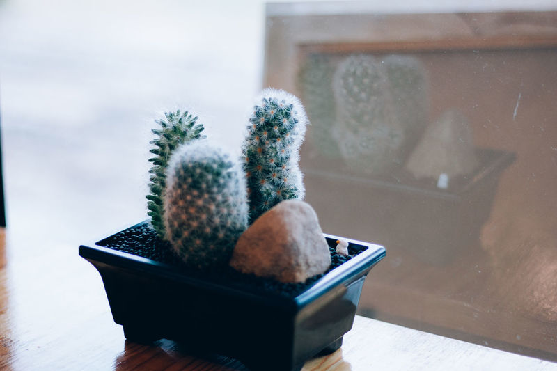 Succulent Plant Nature Cactus Potted Plant Growth Plant No People Day Window Glass - Material Indoors  Close-up Cold Temperature Table Selective Focus Snow Focus On Foreground Transparent Winter Small Flower Pot Houseplant Tea Cup