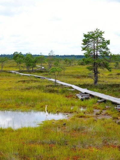 Duckboards at Torronsuo National Park, Finland Animal Themes Bird Bog Day Duckboard Grass Green Color Hiking Landscape Marsh Nature No People Outdoors Path Path In Nature Pathway Scenics Sky Swamp Swamp Swamp Photos Torronsuo Tree Tree Water