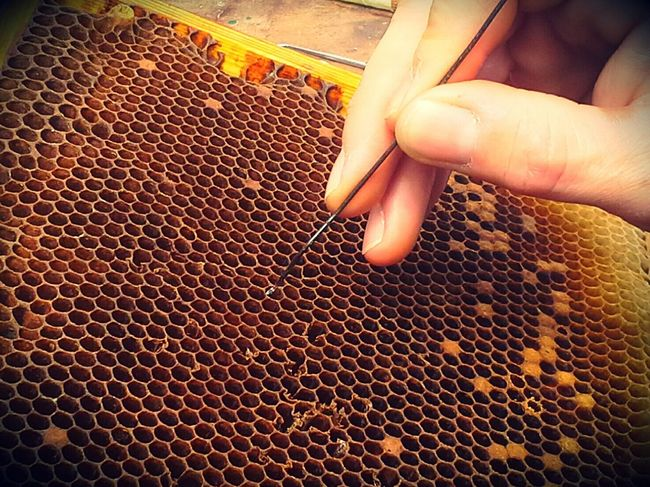 Bienen  Imkerei Umlarven Zucht Schleswigholstein