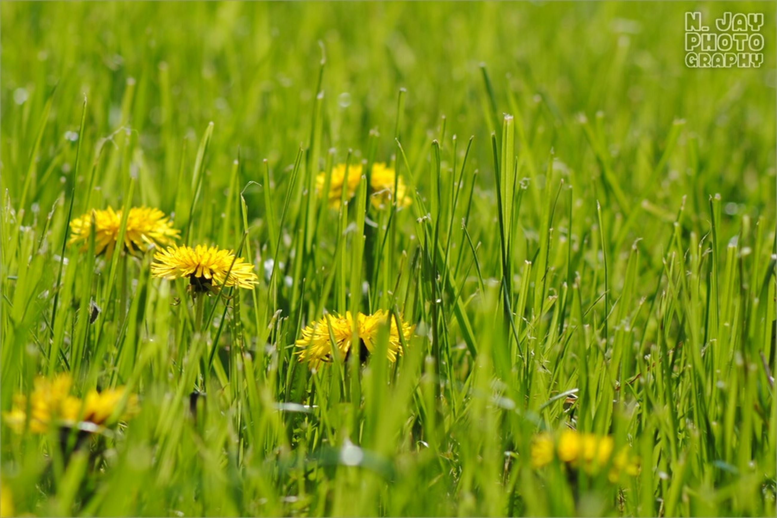 flower, animal themes, insect, growth, yellow, animals in the wild, field, wildlife, one animal, grass, freshness, green color, beauty in nature, nature, fragility, plant, selective focus, focus on foreground, close-up, day