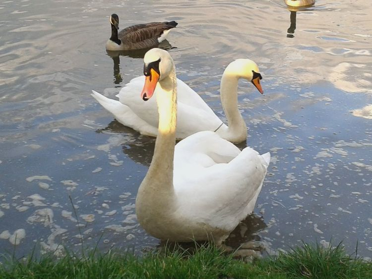Here's Dizzy a swan from the jubilee river Dorney and his mate. Nature Check This Out Stinger11th Razorspics